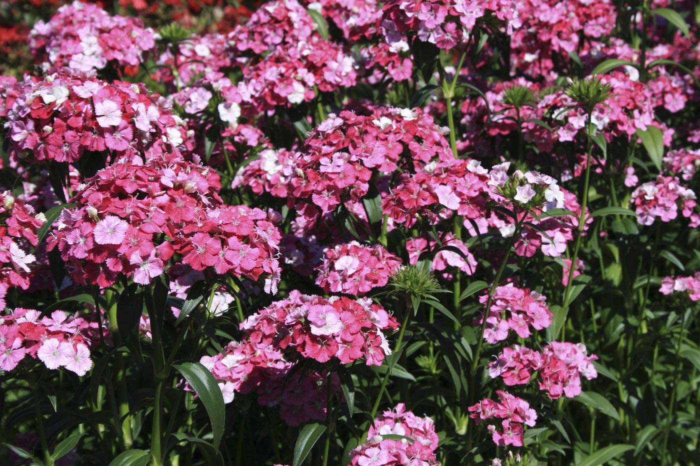 Amazon dianthus Rose Magic's multicolor flower display lives up to its name. These flowers start out white and transition to pink and then rose. (Photo by Gary Bachman)