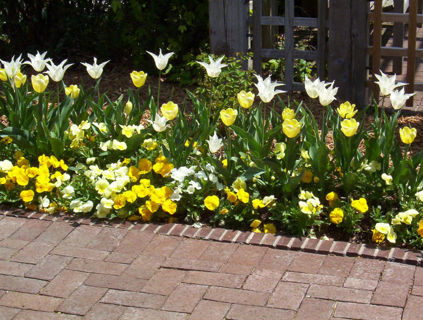 Plant spring flowering bulbs in wintertime mississippi state these yellow and white tulips provide a nice complement to yellow and white pansies mightylinksfo