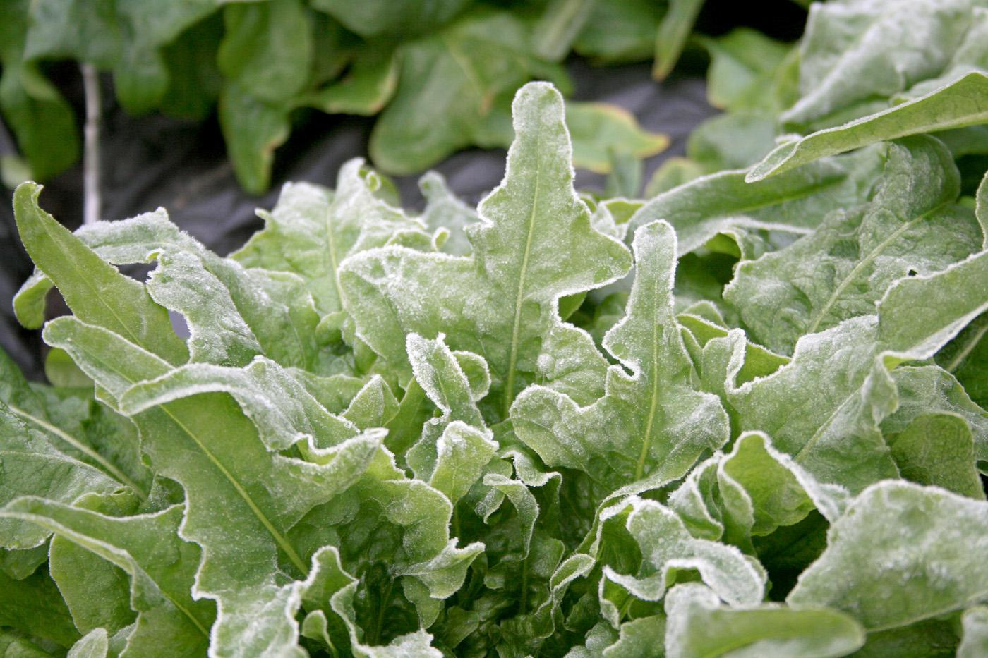 Many garden plants can tolerate frost, such as this cool season lettuce coated with frost. (Photo by Gary Bachman)