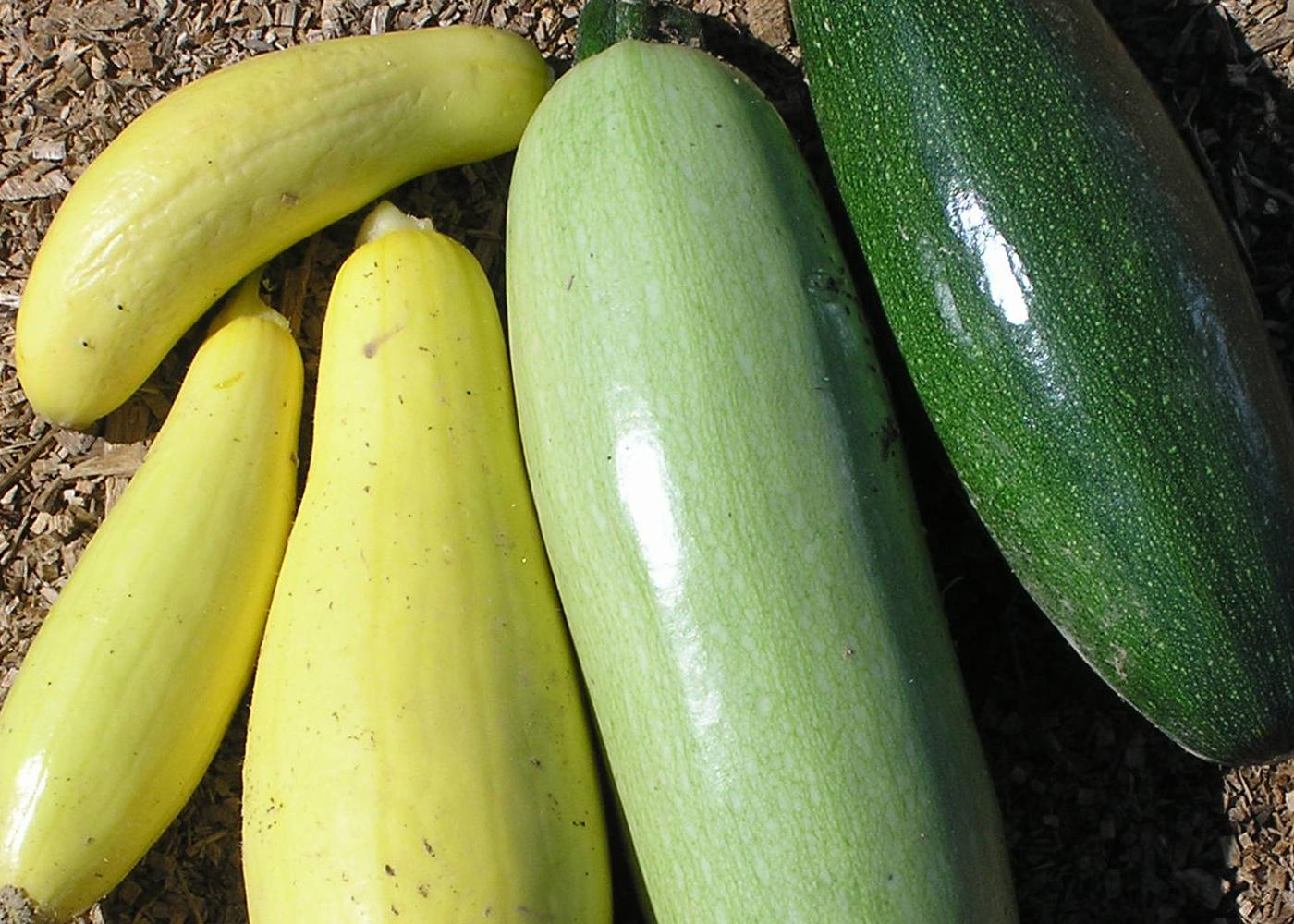 Resolve to grow a new vegetable this year. If you like traditional zucchinis, try growing a new variety in 2012. (Photo by Gary Bachman)
