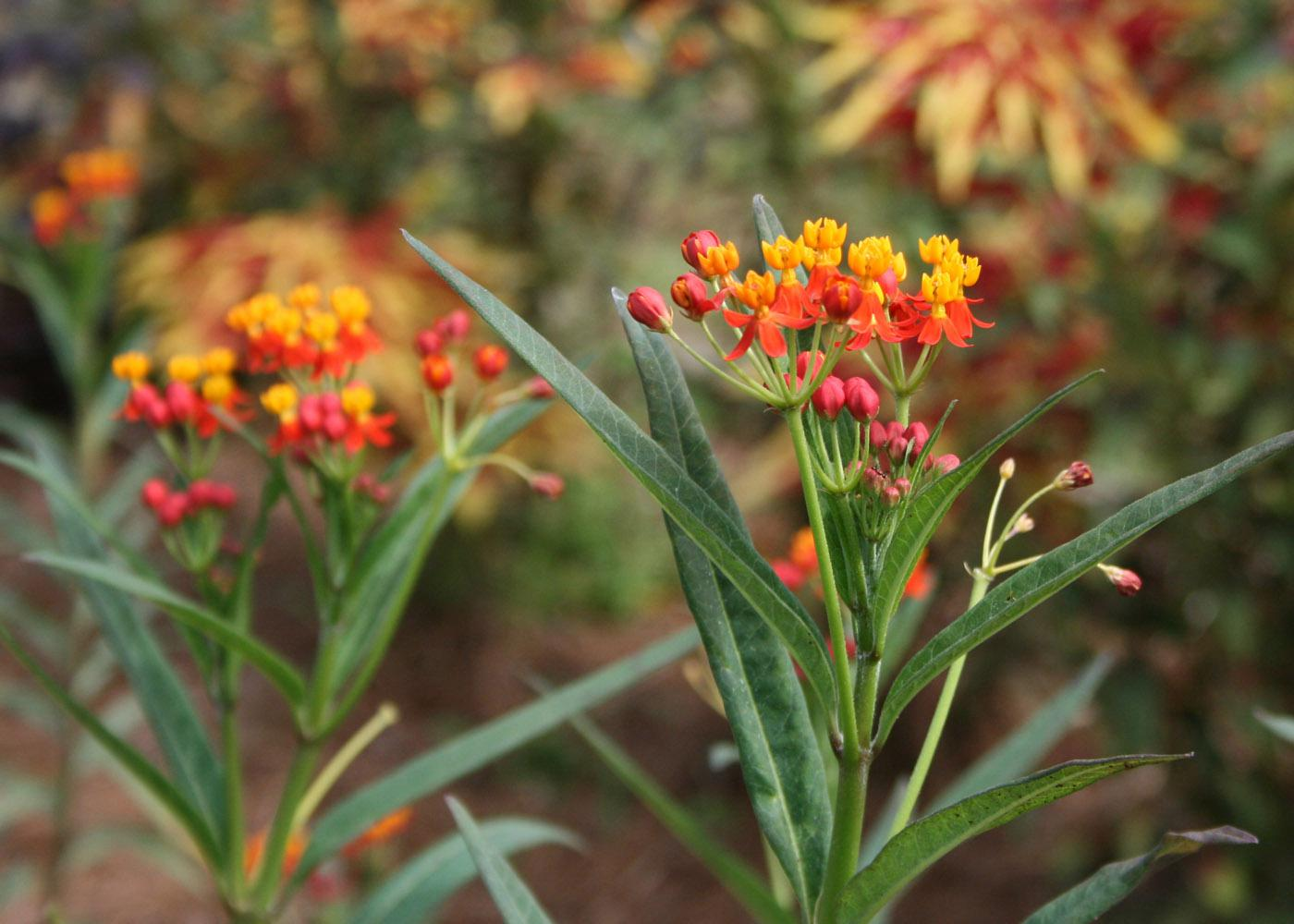 The orange and red flowers of 2012 Mississippi Medallion-winner butterfly weed make it a colorful addition to the landscape.