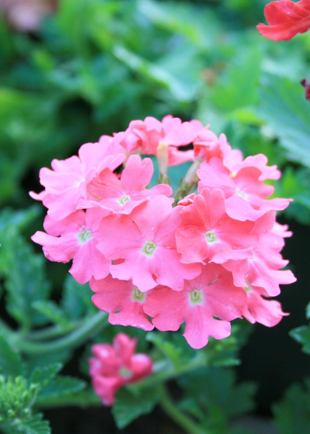 Lanai Verbena Deep Pink (top) makes an excellent choice for hanging baskets, ground covers and containers.