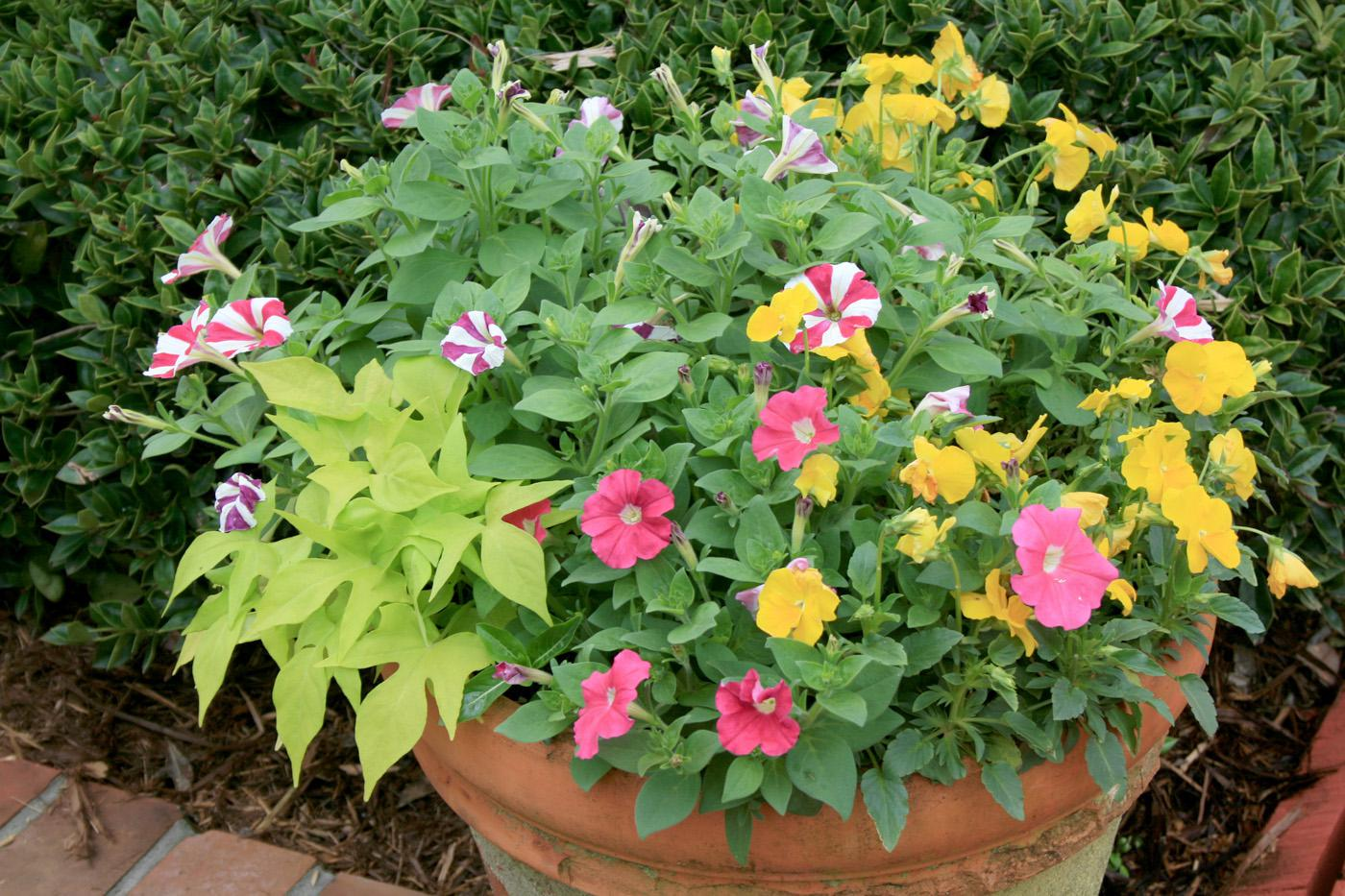 Nearly any plant can be included in a container planting, such as this colorful combination of petunia, pansy and sweet potato vine.