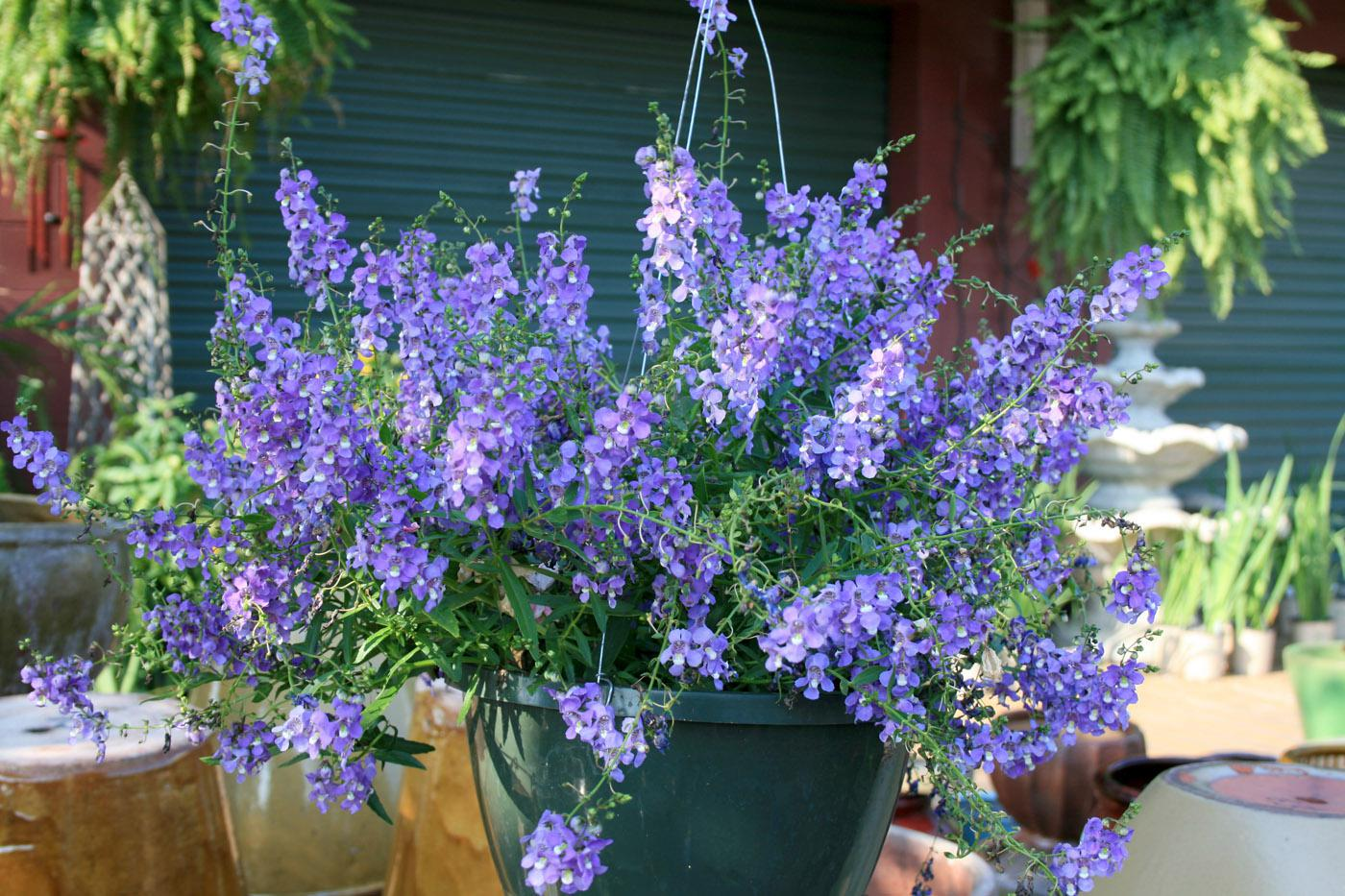 Plant Tough Angelonia For Summer Long Color Mississippi State