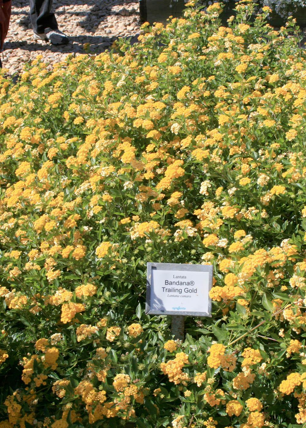 Lovely Lantana Blooms Nonstop For Months Mississippi State