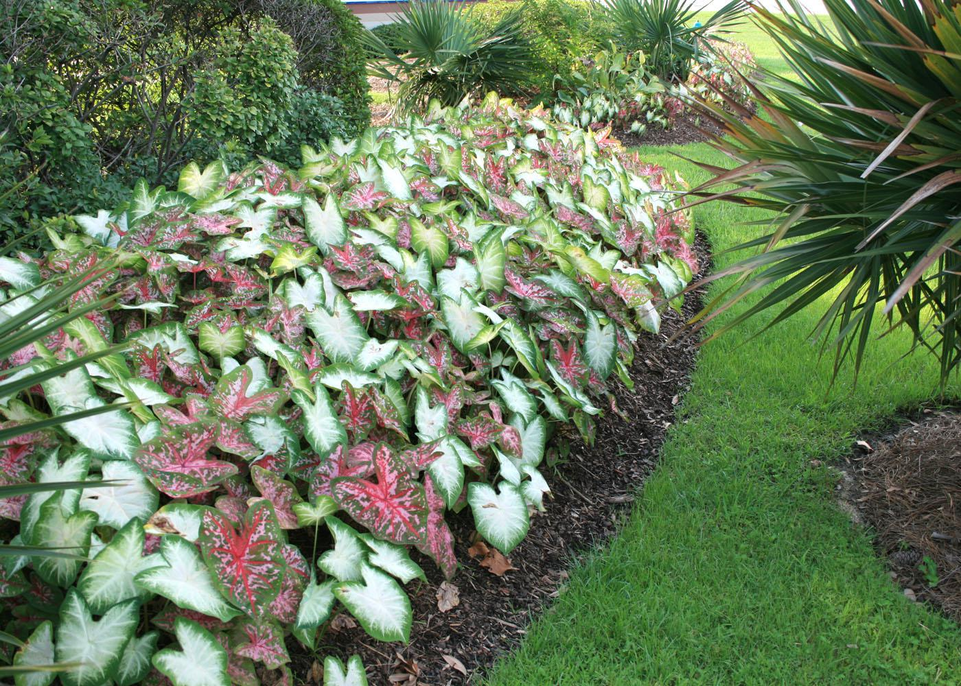 Caladiums Are Tropical Foliage Plants That Can Be Mass Planted To Neatly  Define Border Edges
