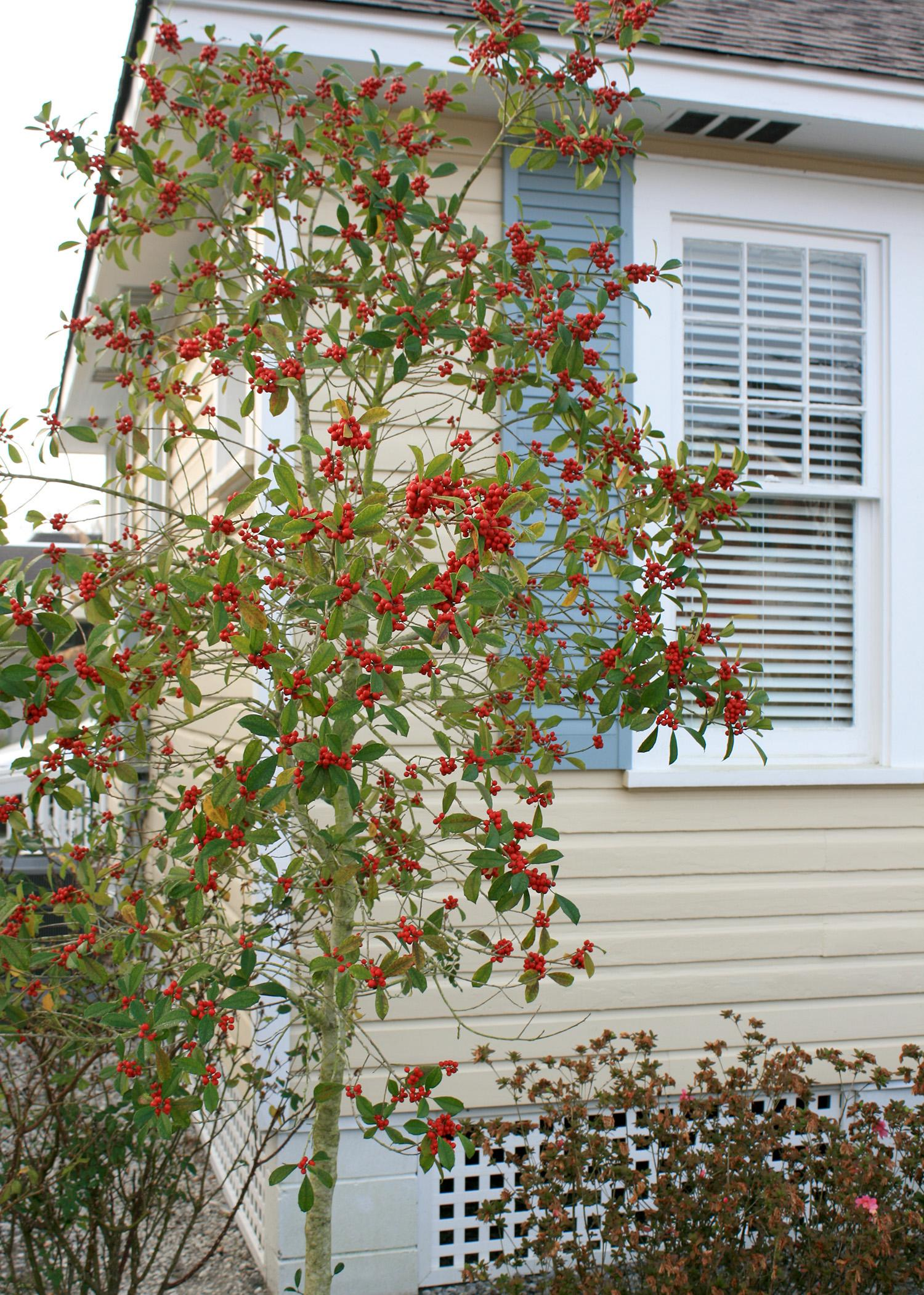 The Savannah holly has a natural pyramidal growth habit that is loose and open. It can be used as a screen or a single specimen. (Photo by MSU Extension Service/Gary Bachman)