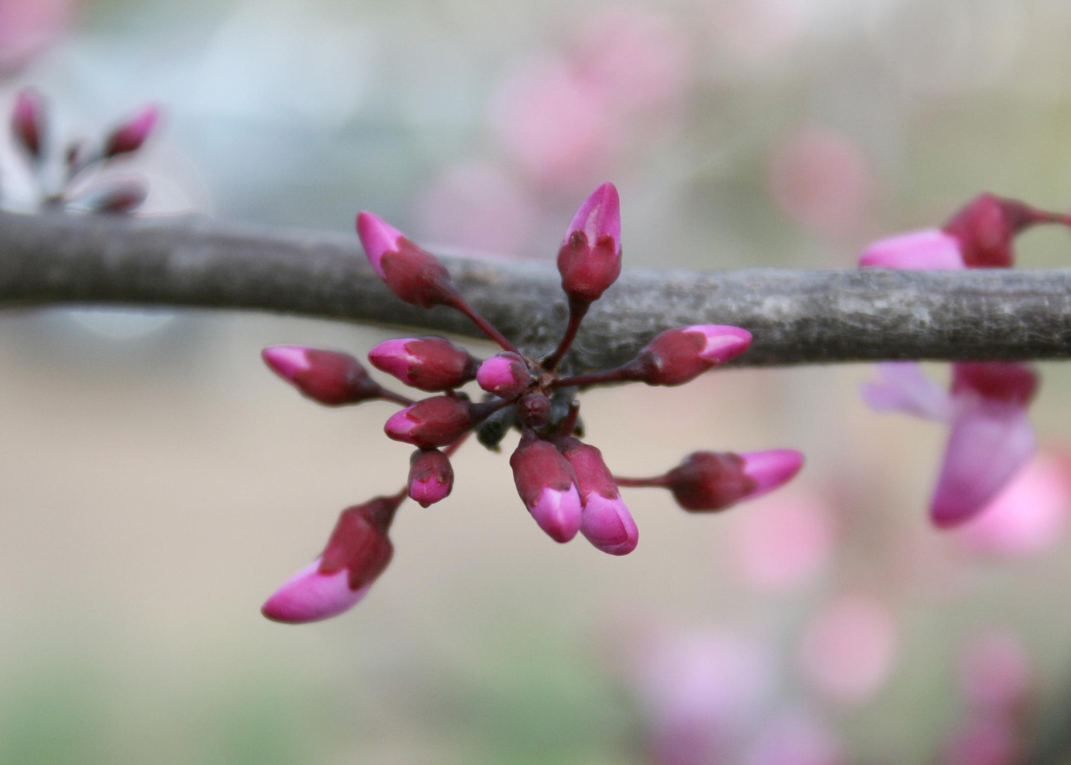 The purple flowers of the redbud tree are a seeming contradiction until you glimpse the deep, red color of the flower buds as they begin to open. (Photo by MSU Extension Service/Gary Bachman)