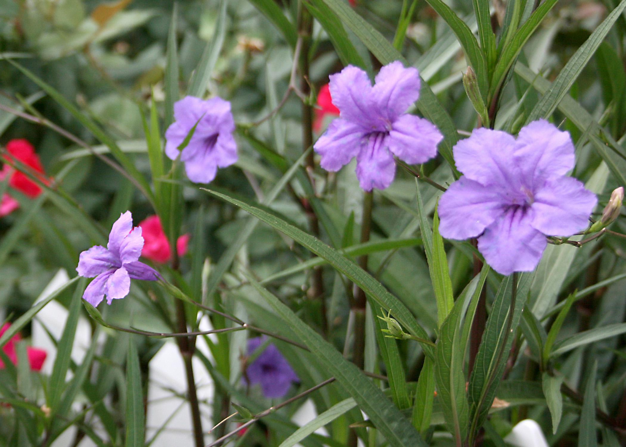 The bluish-purple, trumpet-shaped flowers of the Ruellia, or Mexican petunia, resemble azaleas when massed together. (Photo by MSU Extension Service/Gary Bachman)