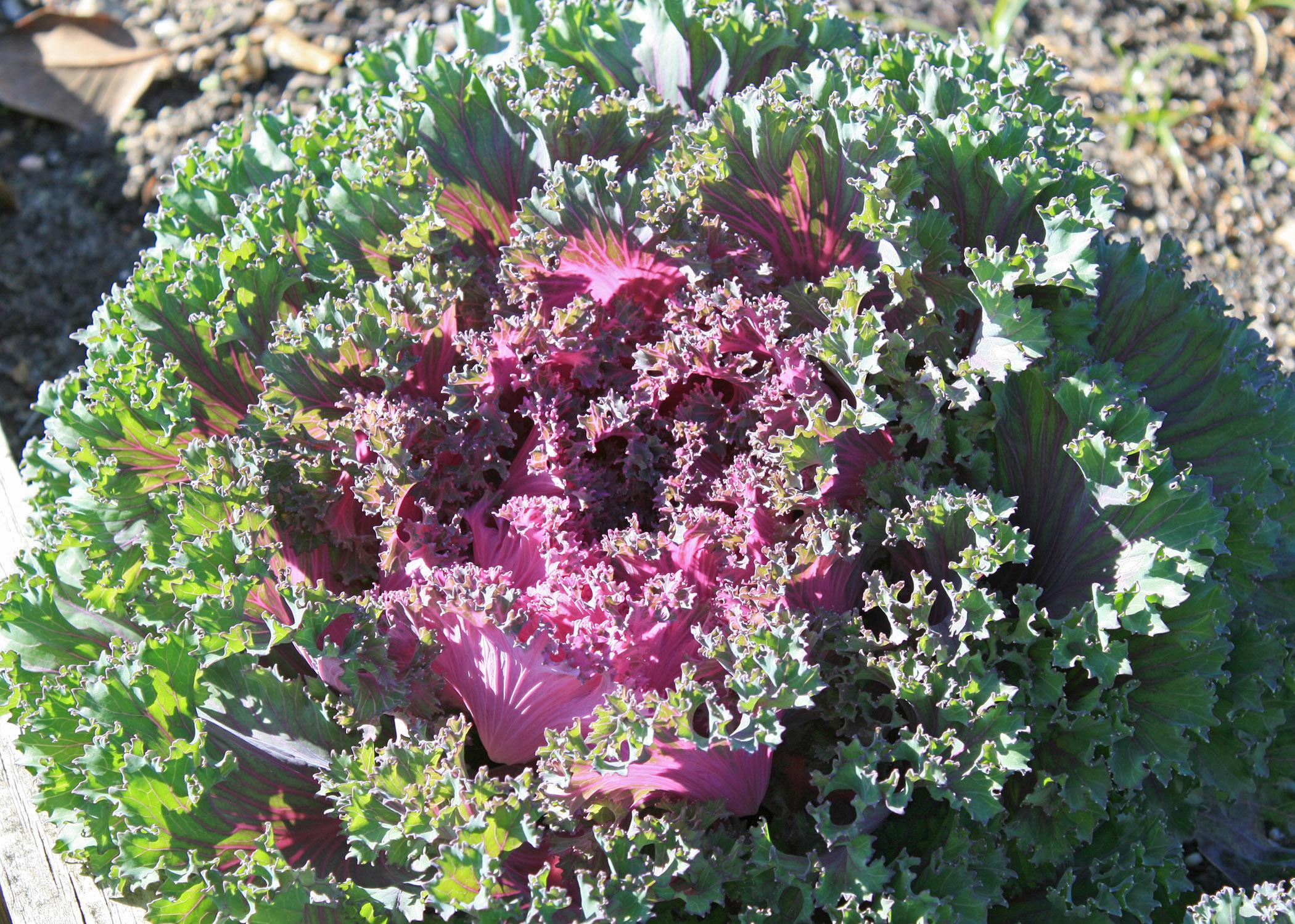 Chidori Red kale has extremely colorful, loose heads. New foliage is a bright magenta red, and mature leaves take on a darker green. (Photo by MSU Extension Service/Gary Bachman)