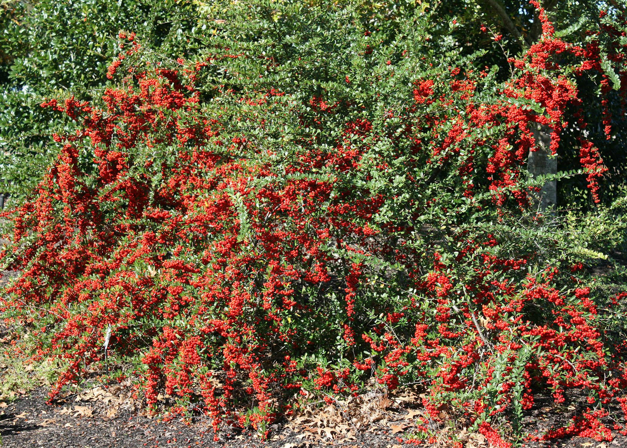 Bushes with red berries offer winter garden color for Piracanta pianta
