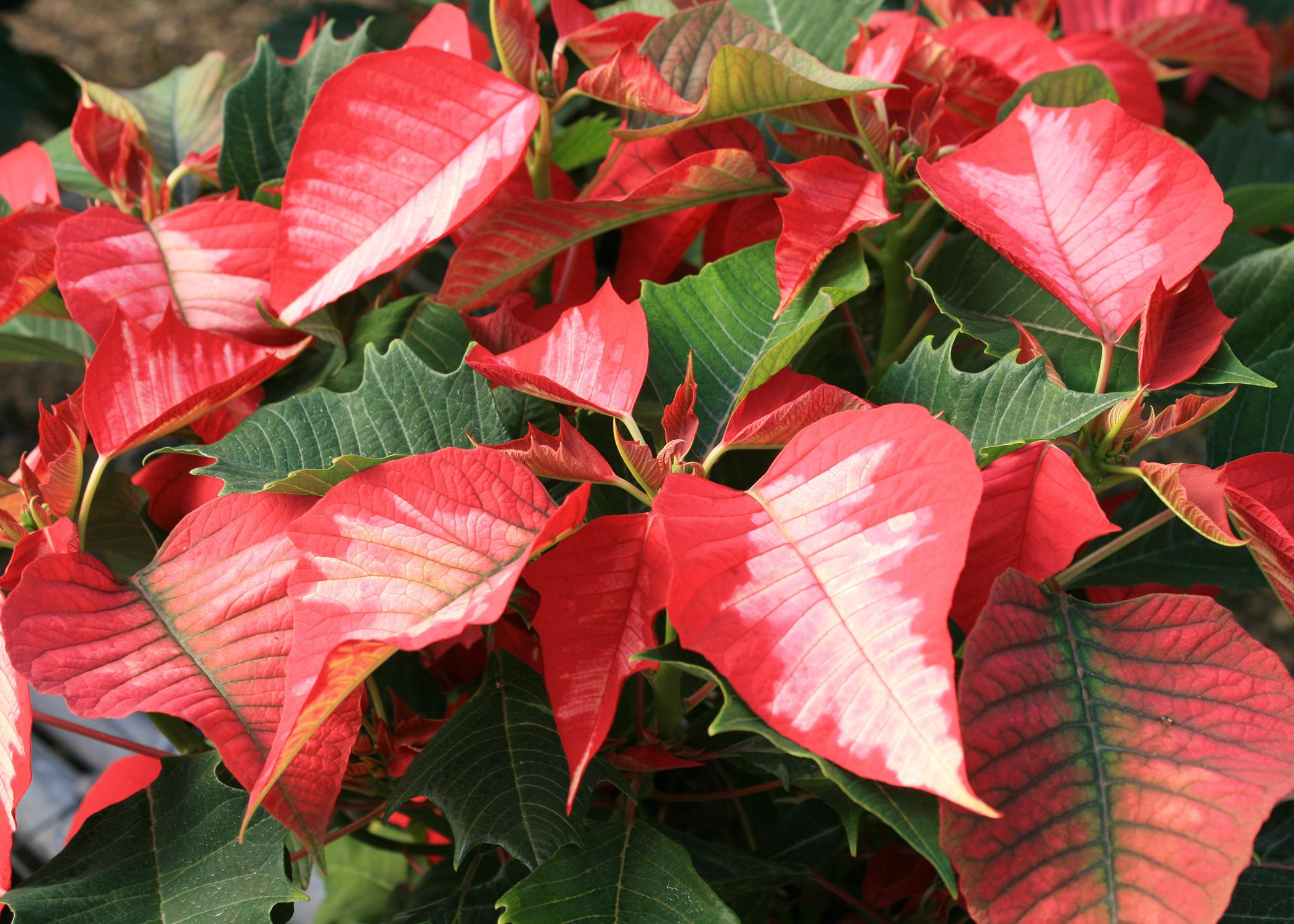 Poinsettias such as this Ice Punch selection are part of the expected scenery and decorations of Christmas. They come in a wide variety of colors and styles, and with a little care, they can last past the holiday season. (Photo by MSU Extension Service/Gary Bachman)