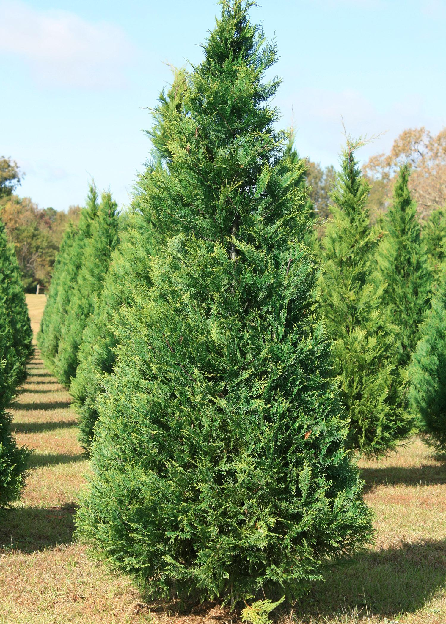 Mississippi Christmas tree growers offer high-quality, beautiful trees for holiday decorating. These Leyland cypress trees are growing at Thomley's Tree Farm in Hattiesburg. (Photo by MSU Extension Service/Gary Bachman)