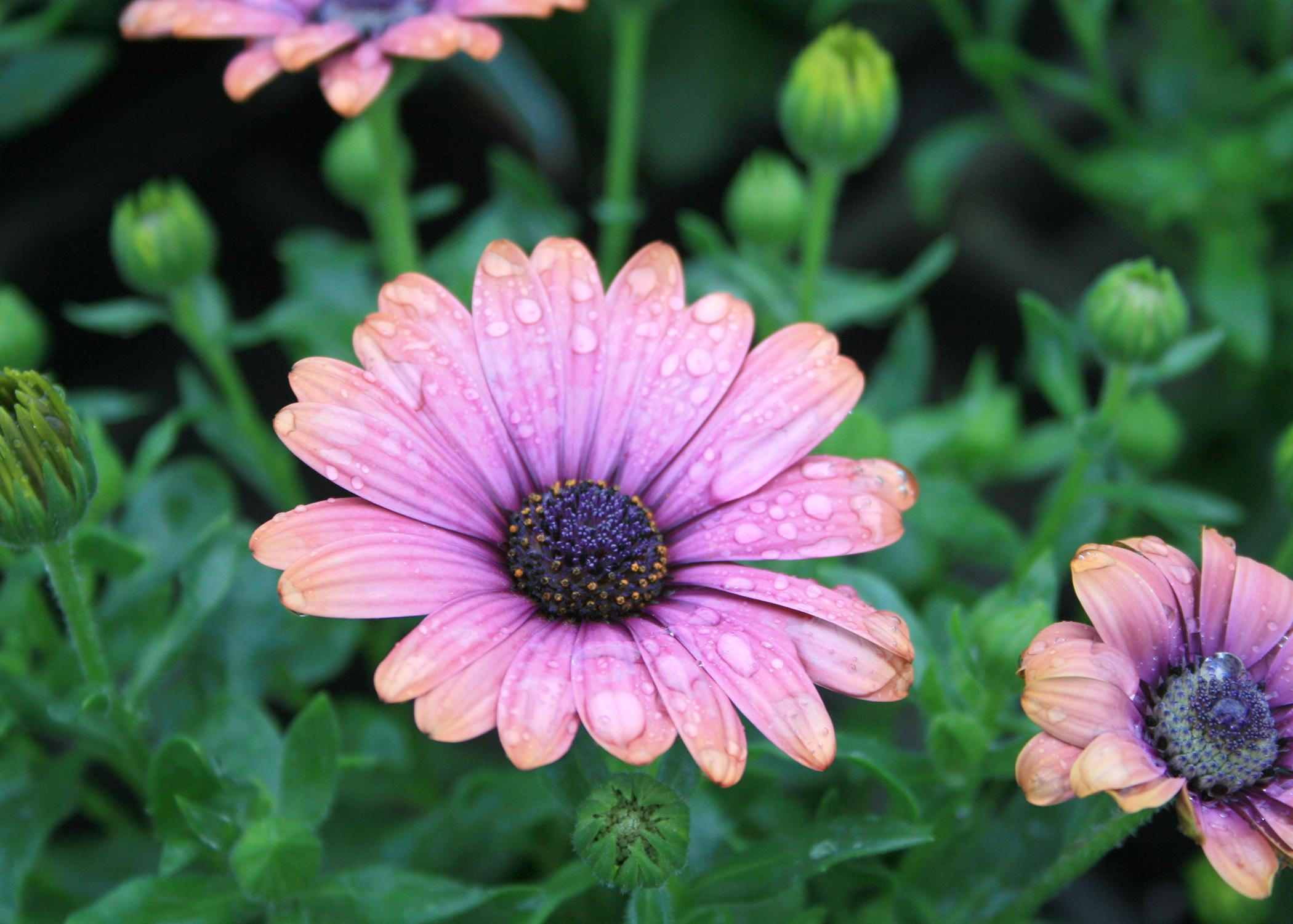 African daisies such as this copper amethyst variety have the familiar center disk and colorful petals and come in colors ranging from white to yellow to bluish purple. They bloom in early spring. (Photo by MSU Extension Service/Gary Bachman)