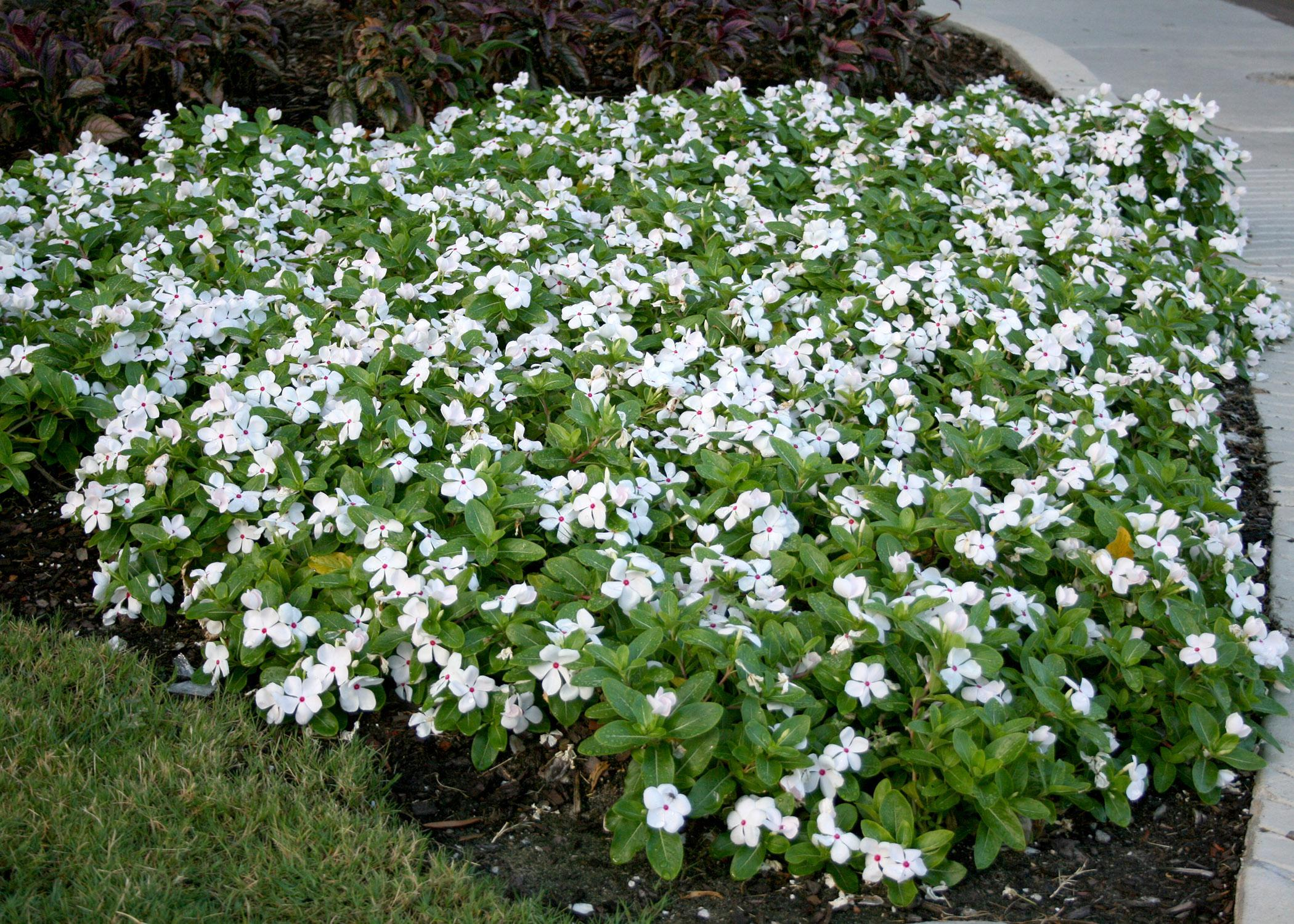 Annual flowering vinca deserves garden space mississippi state the attractive foliage and gorgeous flowers of mass planted annual flowering vinca make a great izmirmasajfo
