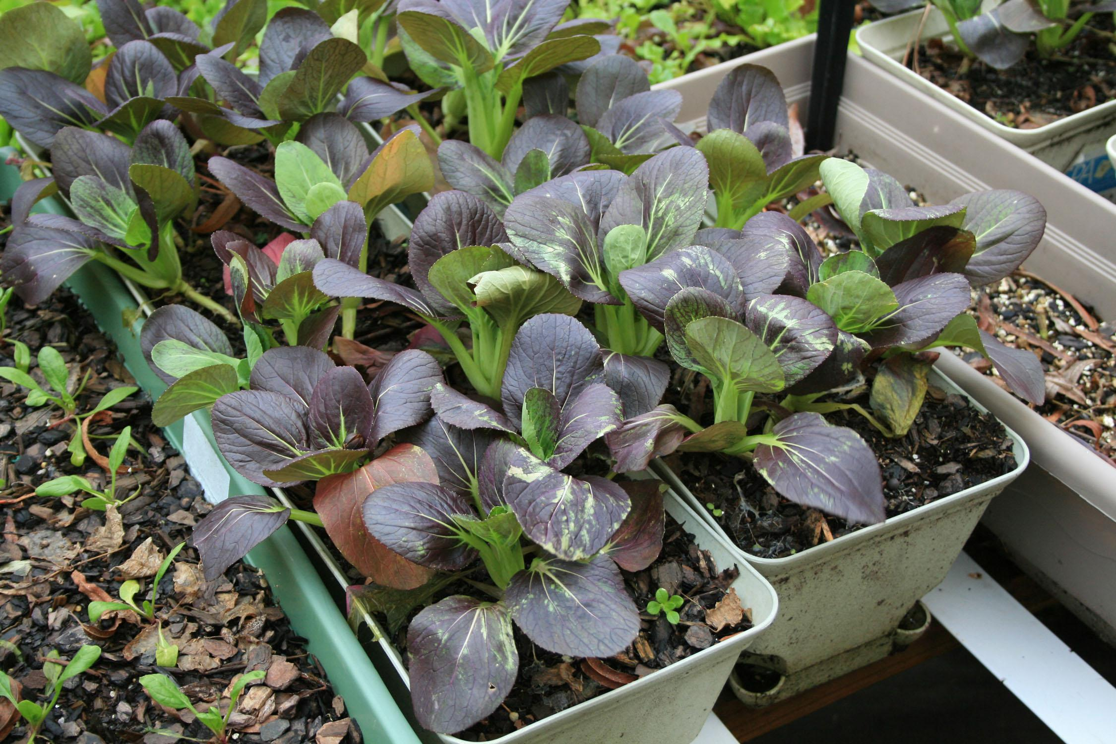 A variety of containers can be used for vegetable gardening, including stock nursery containers, subirrigated boxes and decorative planters. These red choi are growing in window boxes. (Photo by MSU Extension Service/Gary Bachman)