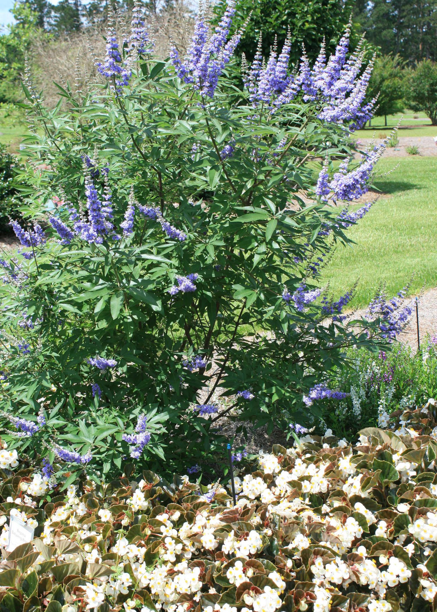 Vitex Offers Color On States Hottest Days Mississippi State
