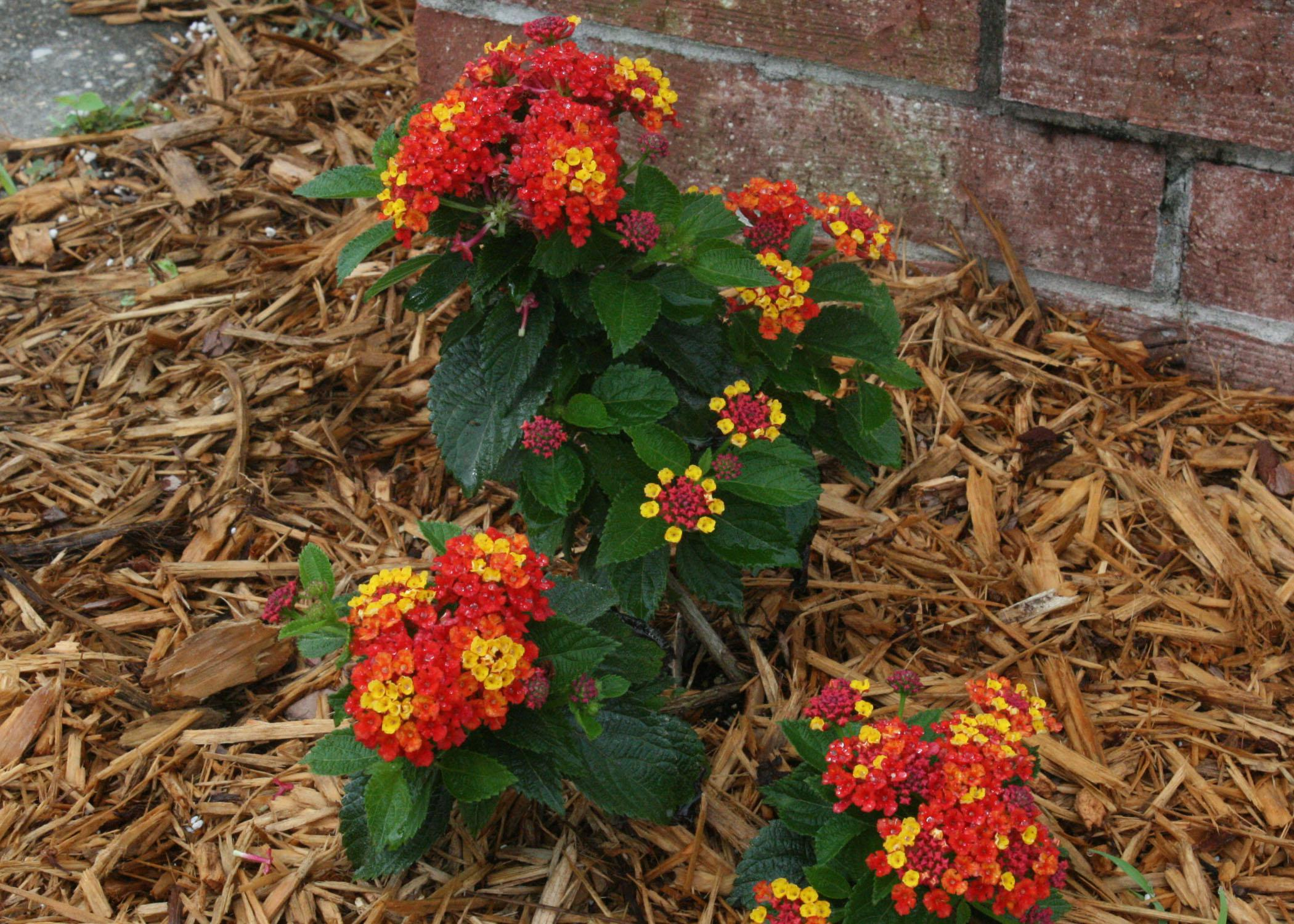 Lantana makes a big impact in the summer | Mississippi State ...