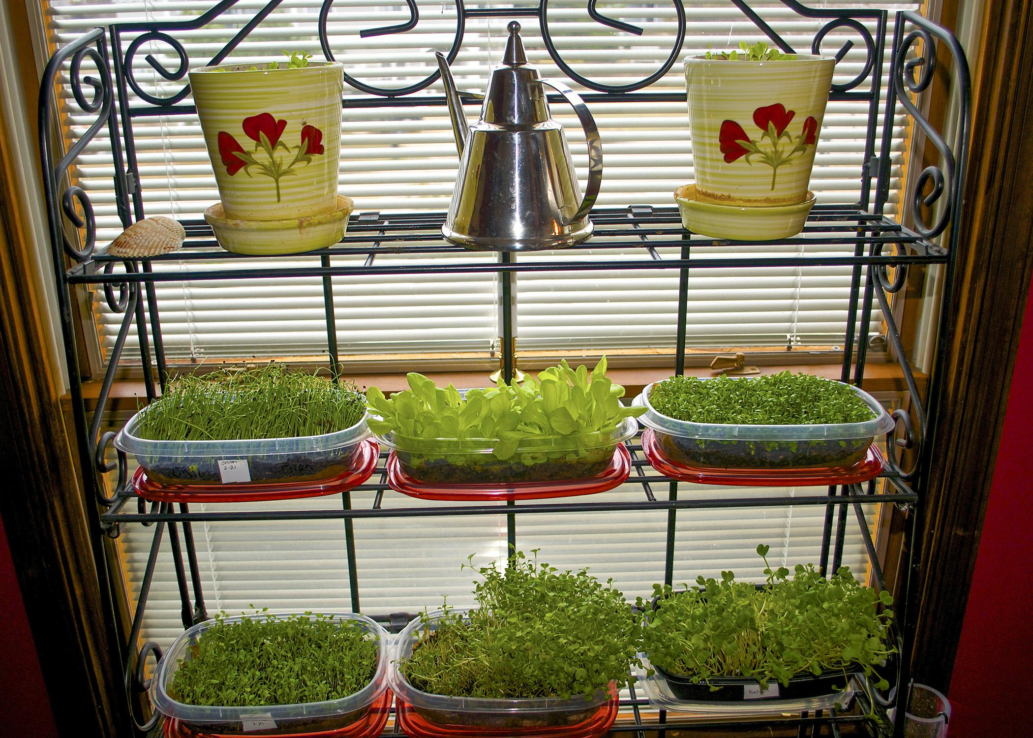 Microgreens can be grown in plastic storage containers in front of a bright window. (Submitted Photo/Cindy Graf)