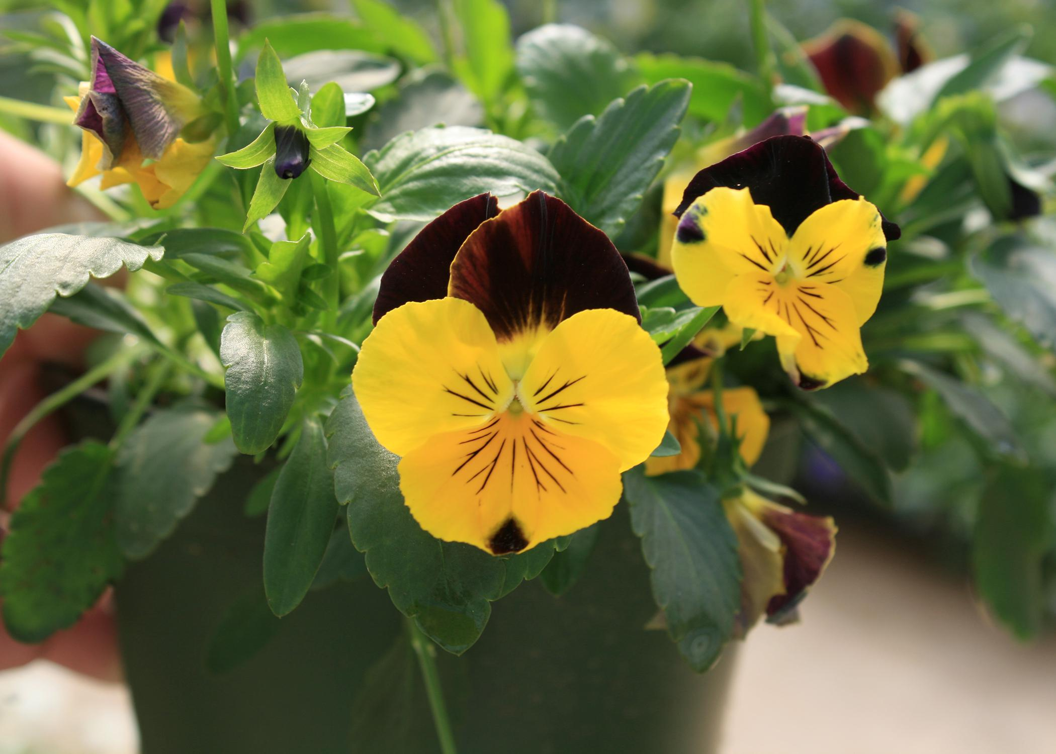 Cool Wave pansies such as this Sunshine 'n Wine selection are much more vigorous than standard pansy varieties. (Photo by MSU Extension Service/Gary Bachman)