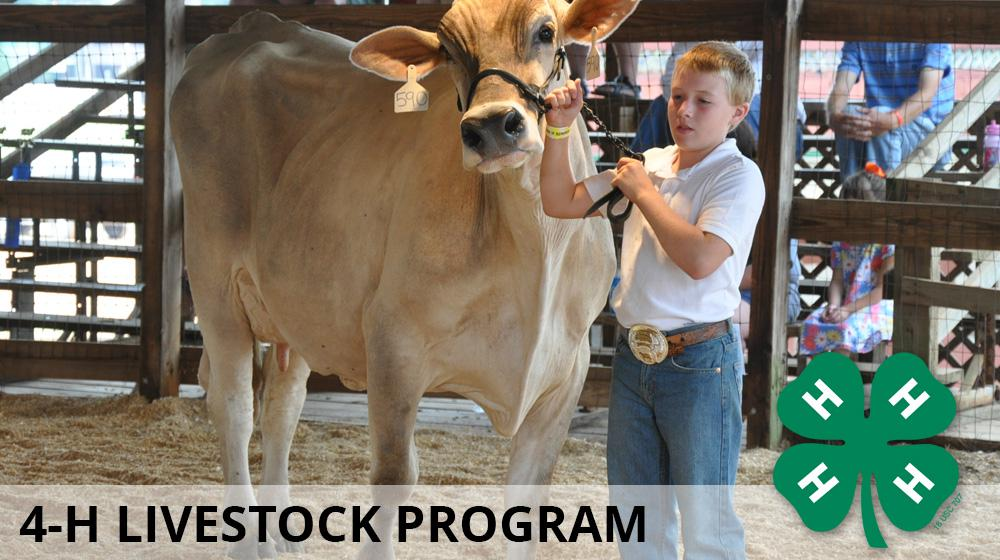 A boy showing his steer at a youth livestock program.