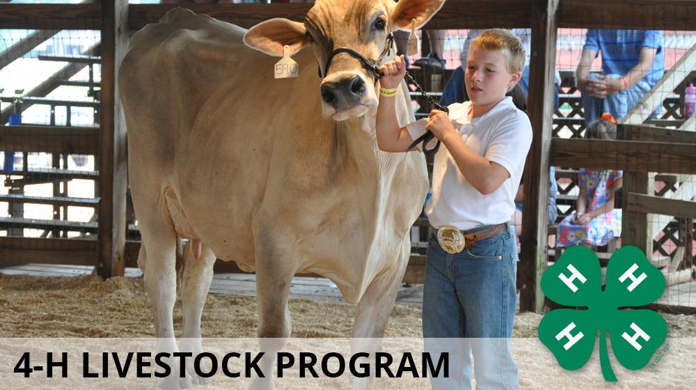 Livestock programs in 4-H