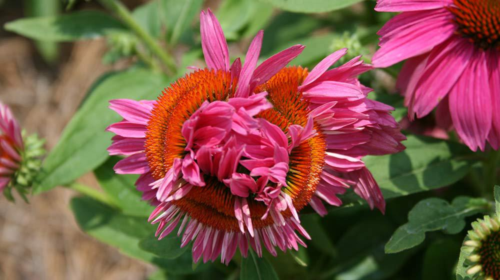 Echinacea Pow Wow Wild Berry Fascination