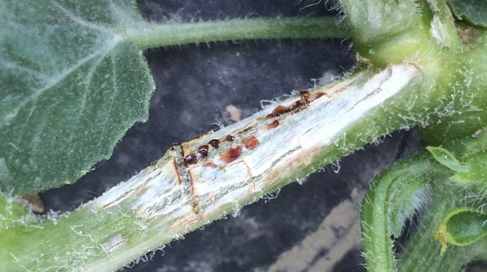 Gummy stem blight lesion and sap exudate on a watermelon vine.