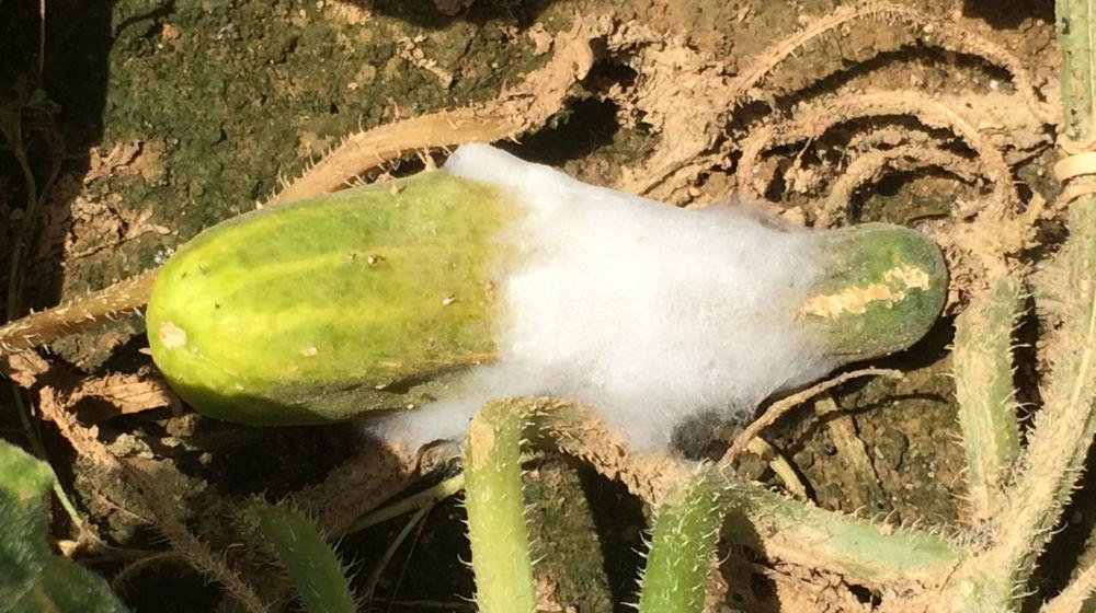 Signs of cottony leak on cucumber