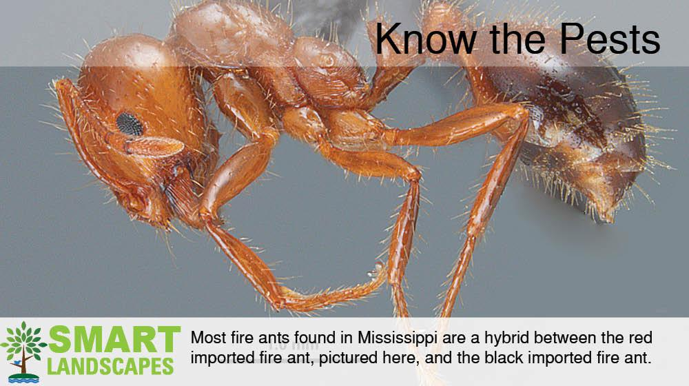 Closeup photo of Mississippi fire ant