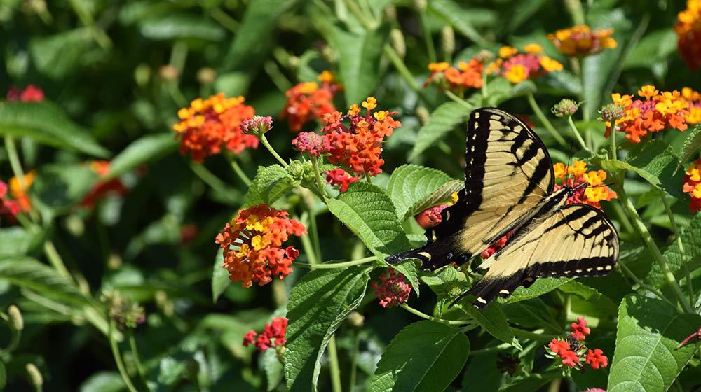 Lantana with a butterfly