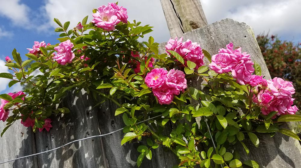 Pink flowers on a green vine growing on a wooden fence.