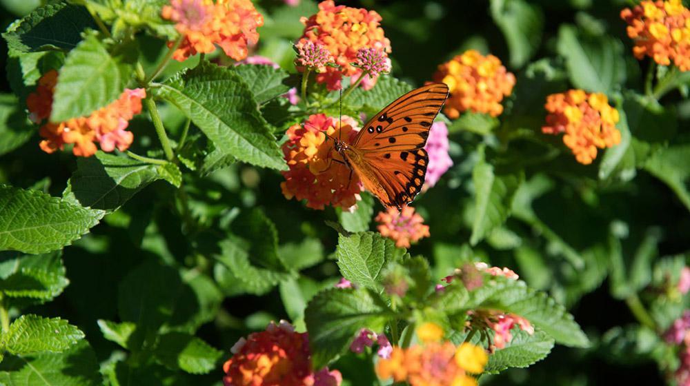 butterfly on lantana.