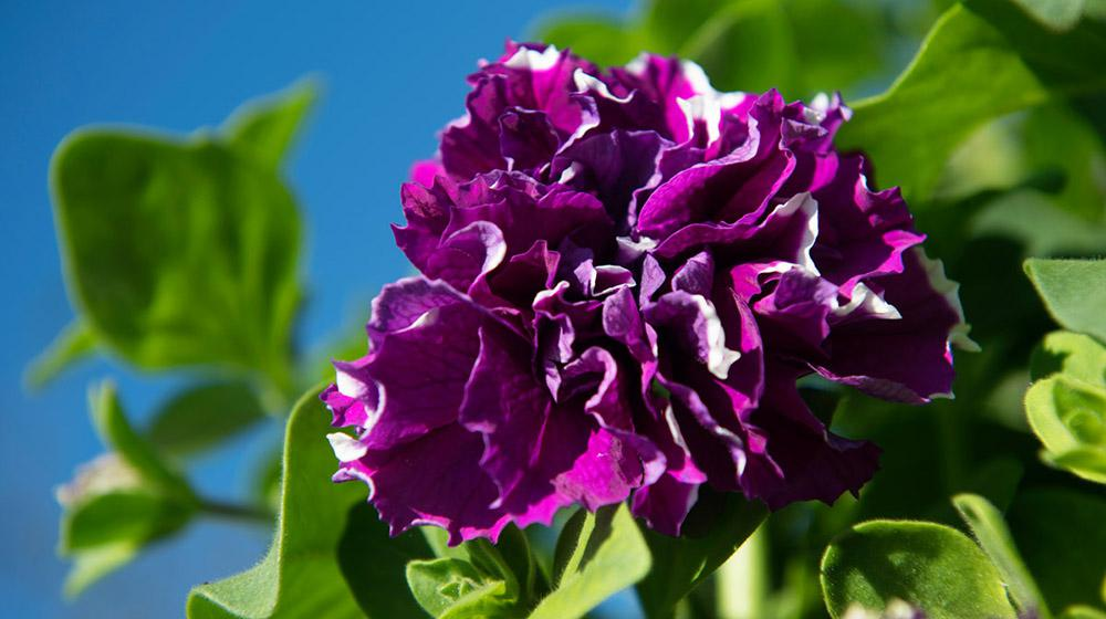 purple flower with green leaves against blue sky.