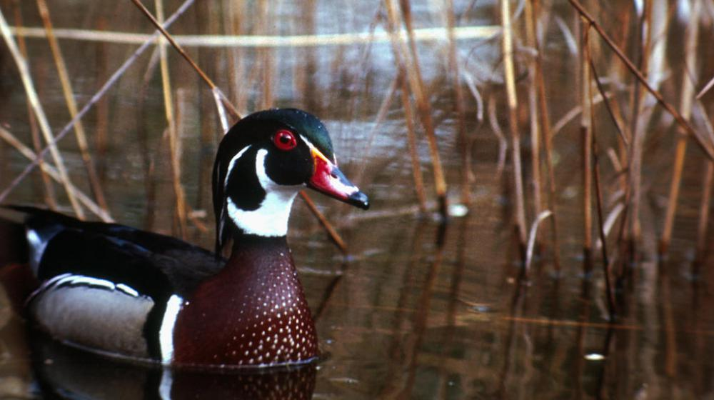 An image of a woodduck in water.