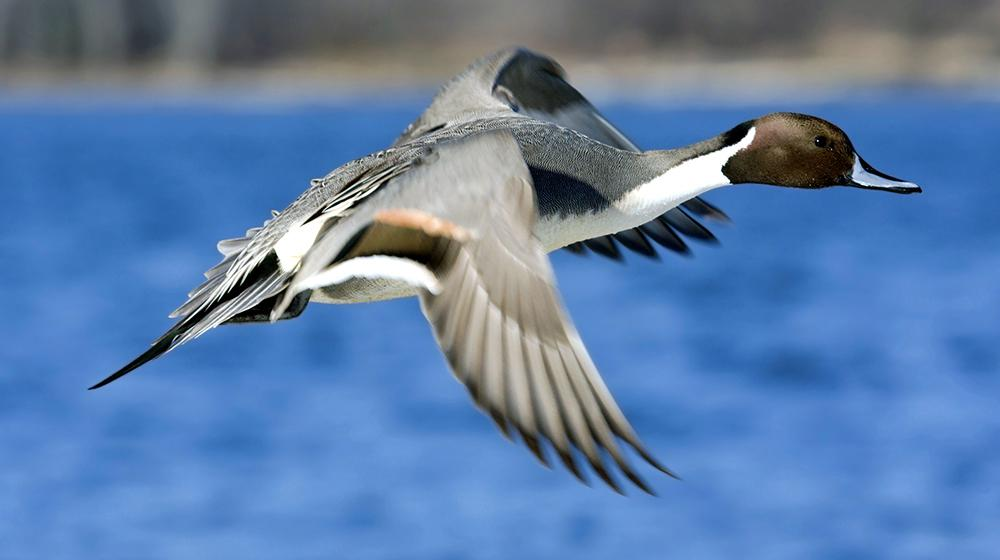 This is an image of a Pintail duck flying over water.