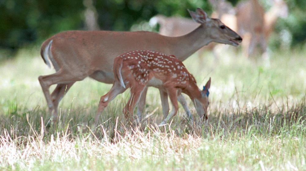 A deer and doe feeding.