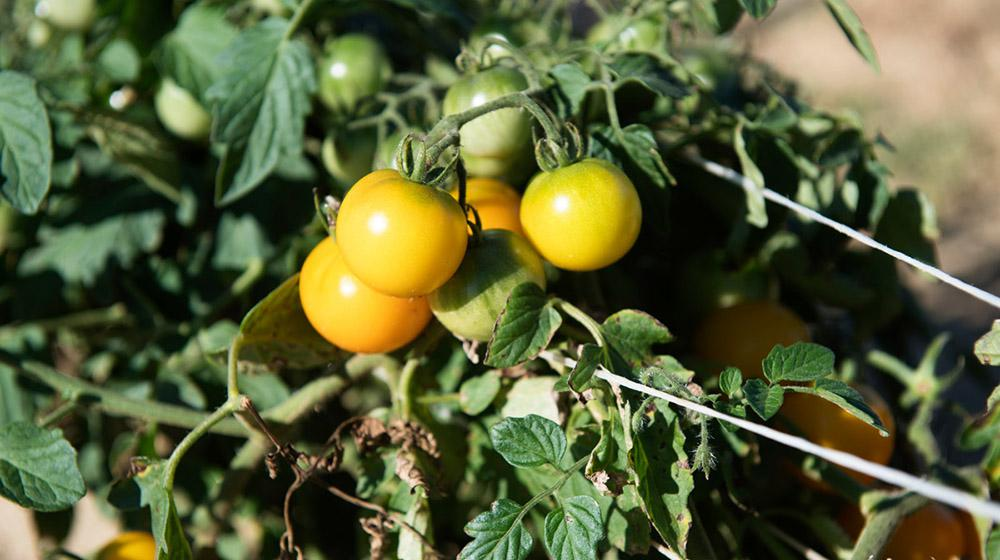 Yellow, green tomatoes on vine.