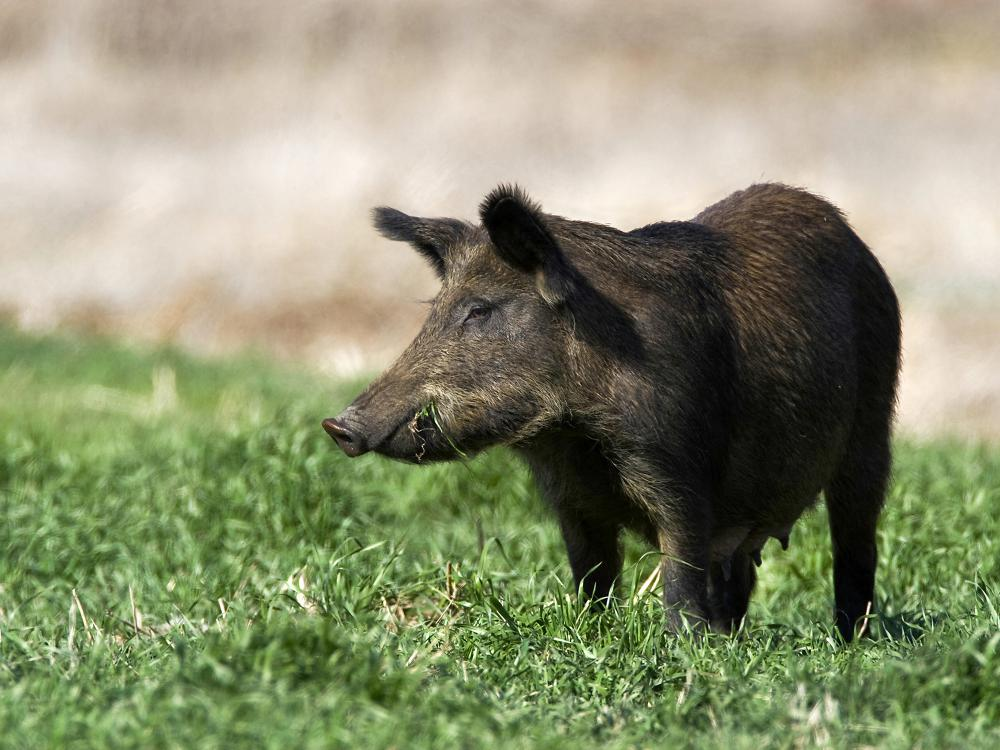 A brown wild hog forages in green grass.