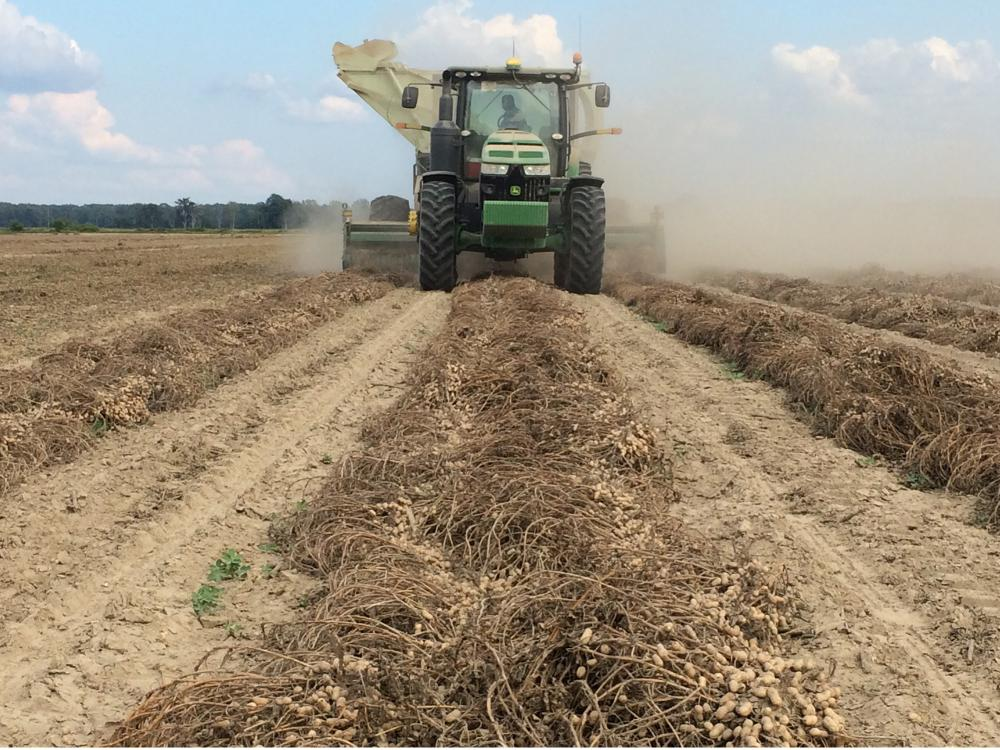 A green combine rolls through a peanut field. In the foreground, peanuts waiting to be harvested rest on the ground.