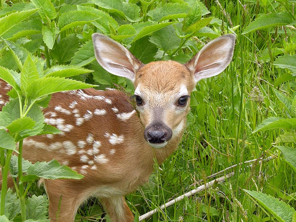 A stray fawn may look vulnerable and alone, but the mother is usually nearby keeping a watchful eye on her offspring. (Stock photo)