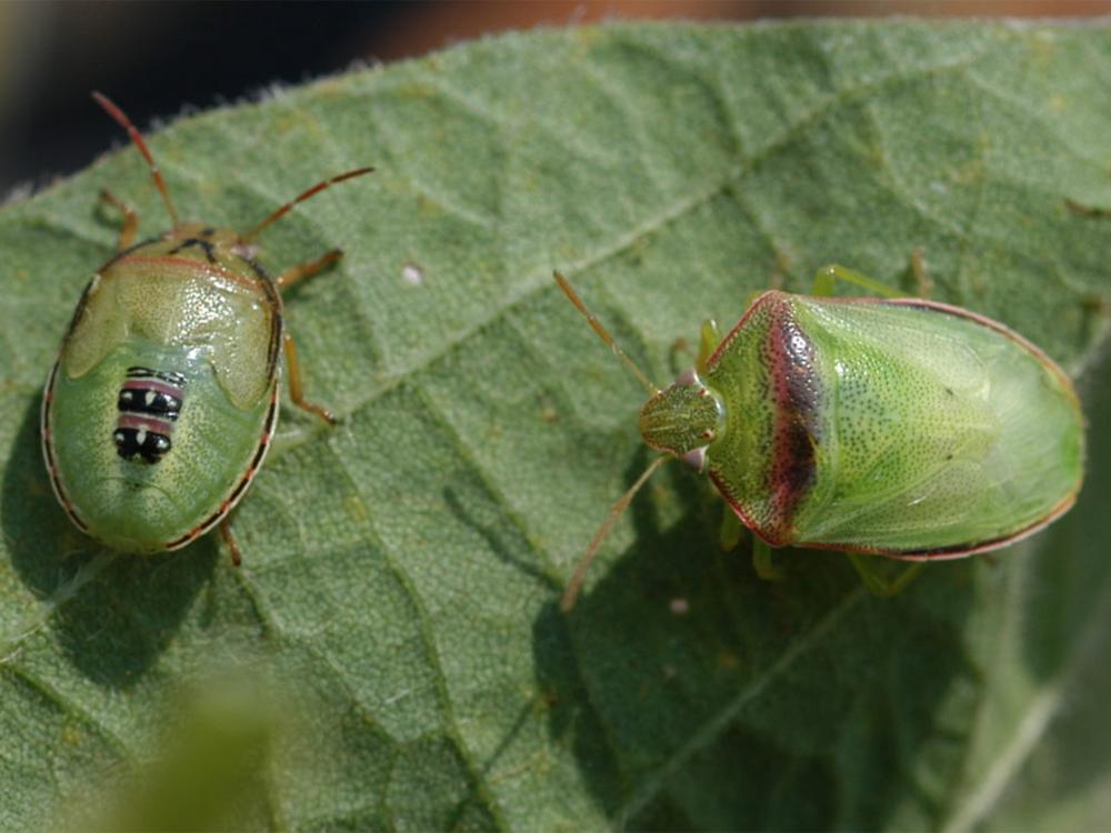 Due to recent heavy rains, many producers have been unable to effectively treat soybean fields for Redbanded stink bugs, a significant and less common insect pest in areas of the Southeast. An emergency forum will be held at 2 p.m. on Aug. 17 at the Capps Center in Stoneville, Mississippi, to address producer concerns. (Photo by MSU Extension Service/Angus Catchot)