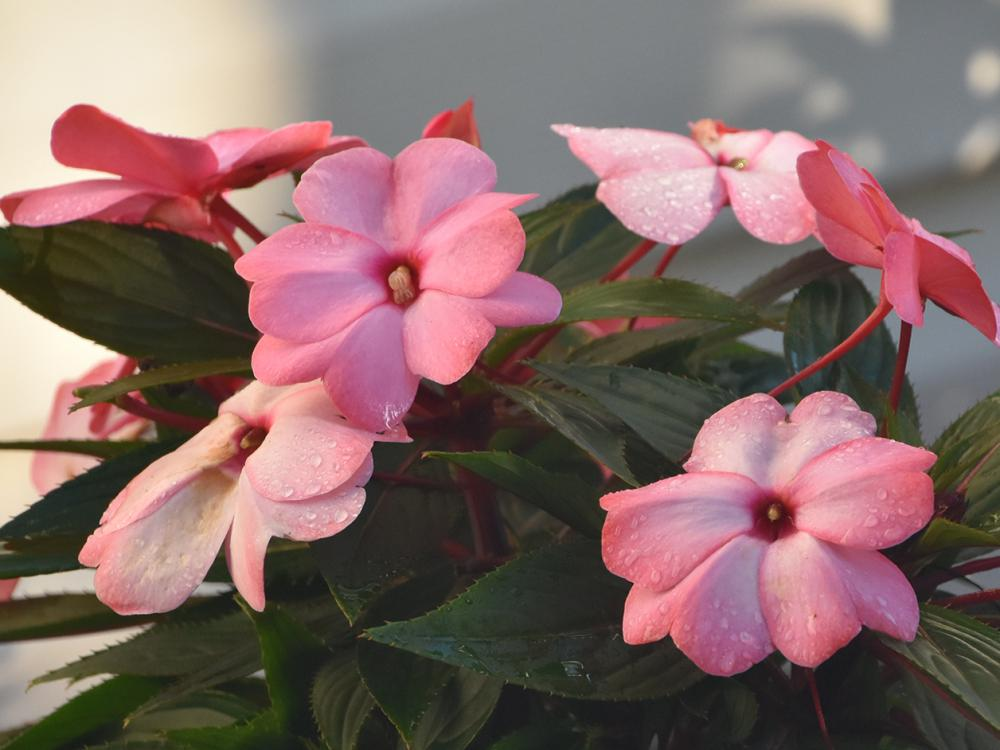 New Guinea impatiens are strictly shade-loving plants that can complement their sun-loving cousins, the SunPatiens. (Photo by MSU Extension/Gary Bachman)