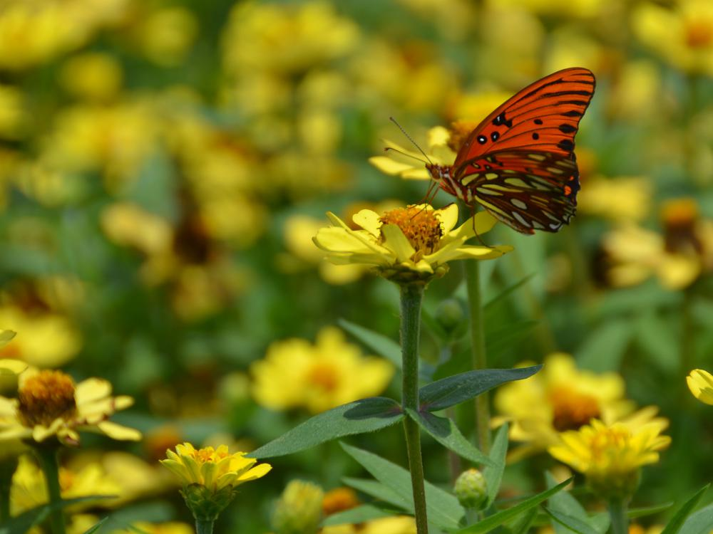 A butterfly gathers nectar from a yellow flower in a group of yellow flowers.