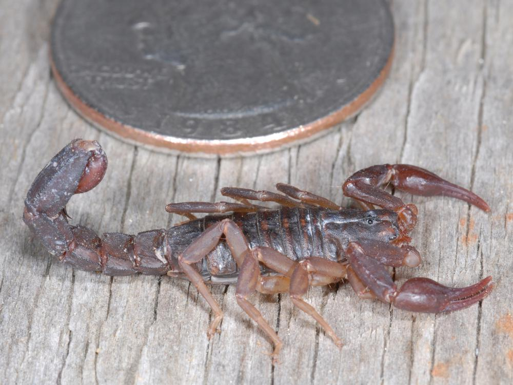 A small, brown scorpion with tail curled is pictured next to a quarter.