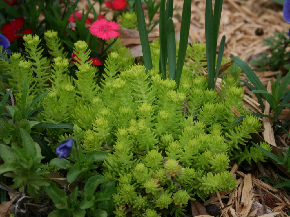 Upright stems of a low-lying chartreuse plant sprout from a landscape bed.