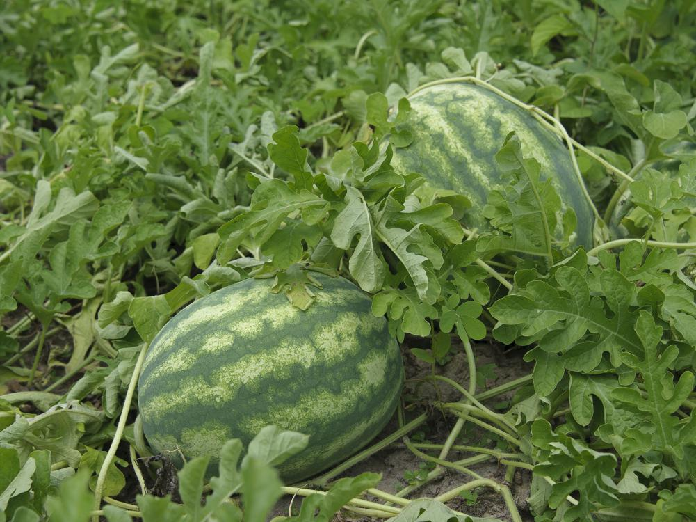 A watermelon with a dark green outer shell and light green stripes rests in a field.