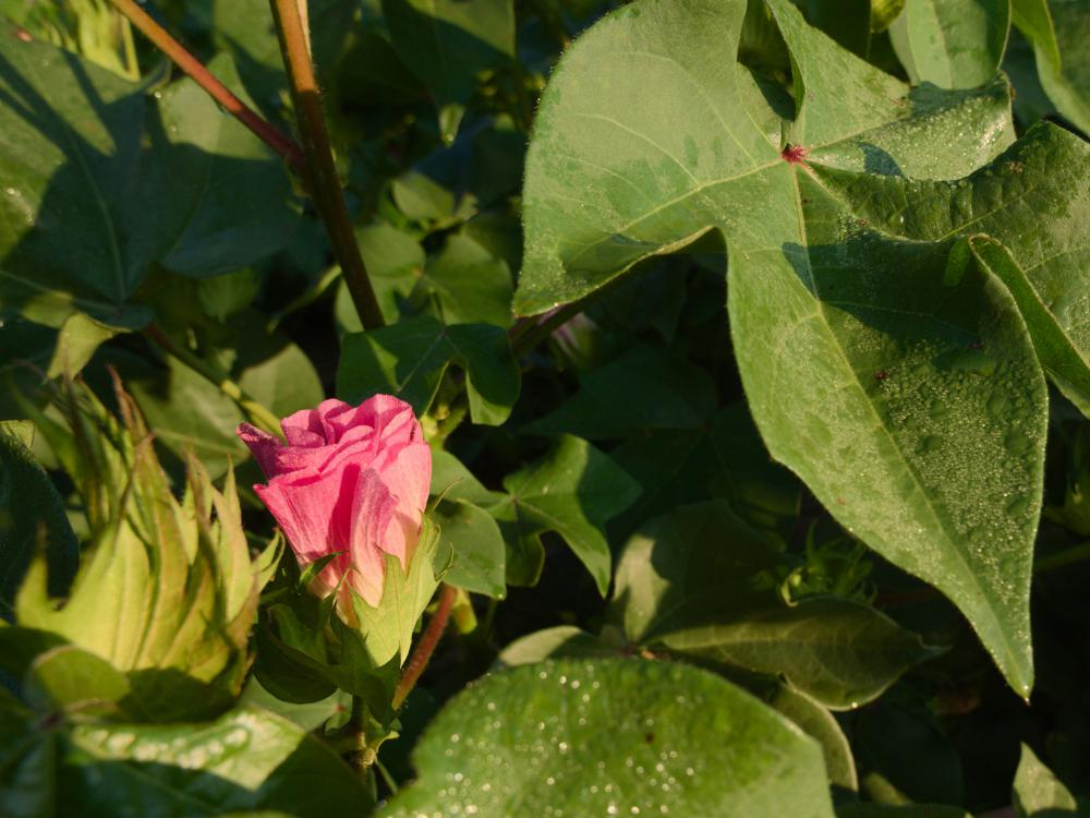 A pink cotton bloom sits among green leaves.