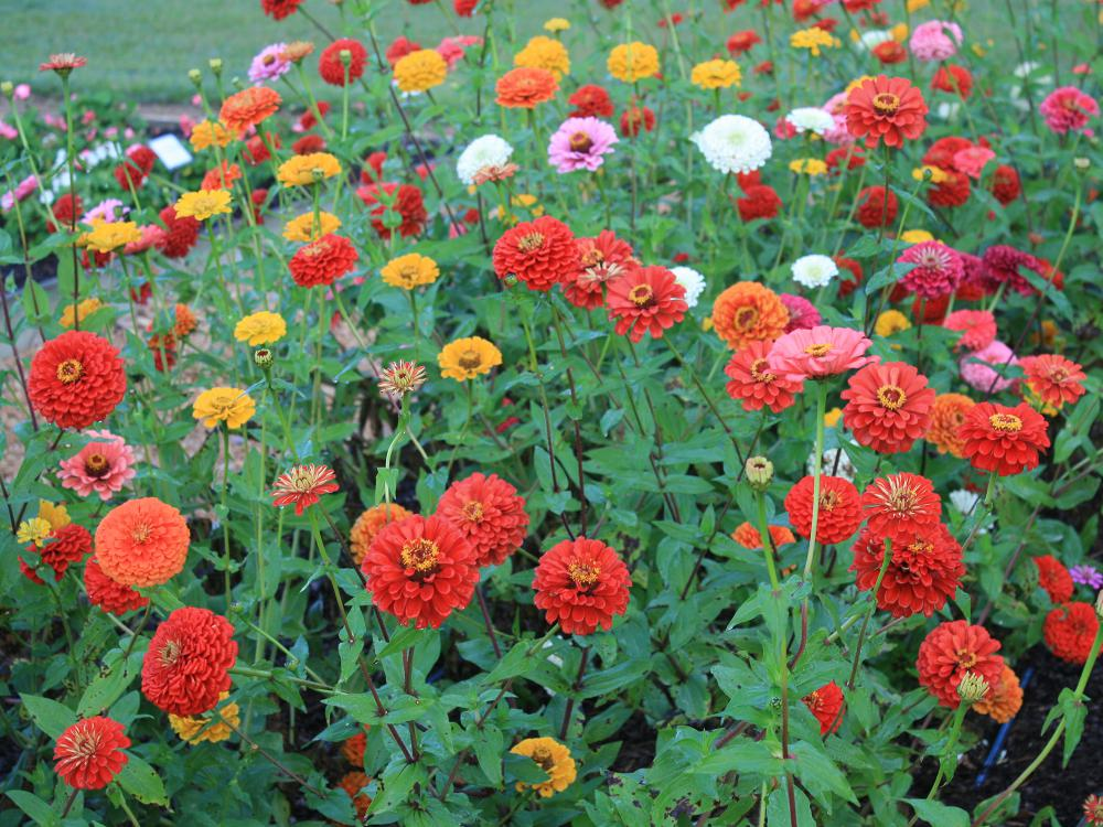 Free-standing blooms in red, orange, yellow and pink fill the frame against a background of green leaves.
