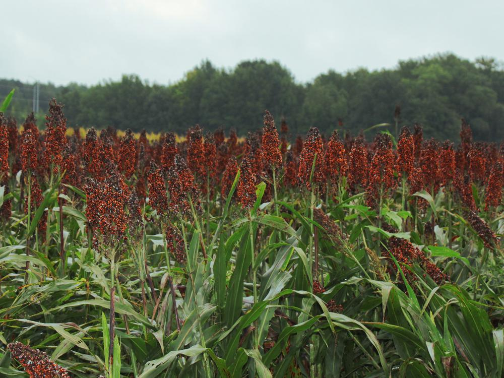 Hundreds of reddish-brown heads of grain sorghum rise above green stalks in a field.